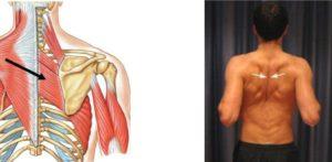Расположение ромбовидной мышцы